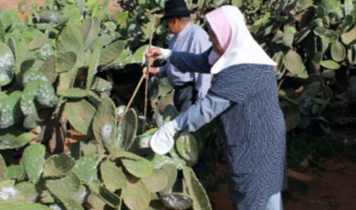 Une enveloppe de 80 MDH contre la cochenille du cactus