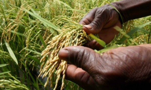 La production mondiale de riz devrait atteindre 511,3 millions...